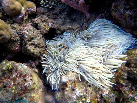 warm climate: Clownfish in actinia plant inside a round coral. Orange and white striped clown fish. Tropical ecosystem symbiosis. Aquarium fish in wild nature. Sea life in warm climate. Diving in Philippines.