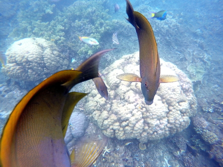 wrasse: Coral fishes and corals in blue sea water. Brown and orange surgeon fishes swimming above white coral reef. Tropical sea life. Surgeonfish in wild nature. Close photo of underwater animal. Stock Photo