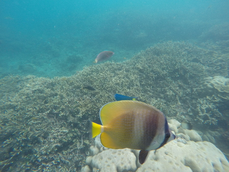 Underwater landscape with coral reef and butterfly fish. Aquarium fish in wild nature. Yellow striped butterflyfish in turquoise water. Sea life in tropical climate. Snorkeling in Philippines