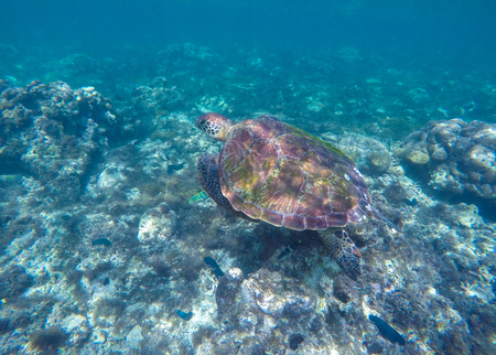Sea turtle in blue water. Ocean animal - green sea turtle with big shell with seaweeds. Image of swimming green turtle. Dive with green sea turtle. Sea shore animal photo. Underwater reptile turtle.