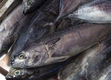 fishy: Fresh mackerel fishes on shop display. Pile of sea fishes for sell. Seaside fisherman catch. Raw fish meat. Grey silver mackerels ready for cook. Fresh healthy seafood image for cooking recipe book