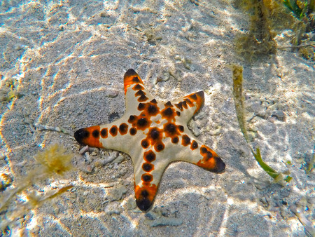 cushion sea star: Orange pillow starfish on white sand of tropical sea in Sanur, Bali island, Indonesia. Underwater photo of coral reef inhabitant, colorful ocean animal. Five rays star on seashore between water plants