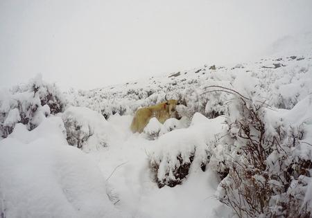 Yak and snow, snow-capped yak found near Everest base camp, Himalaya mountains, Nepal, winter mountains, winter animal, bull yak carrying luggage, hard job, rustic village scene, domestic animal