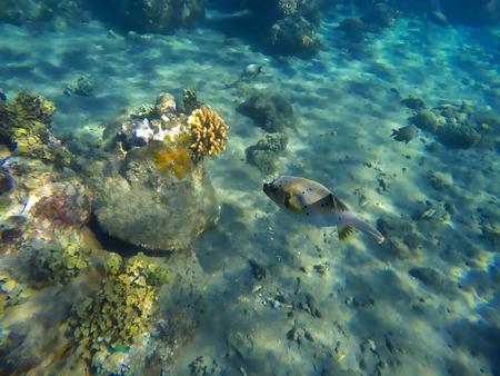 Arrecife de coral y pez globo, paisaje subacuático, peces de arrecife de coral, pez fugu, pez peligroso con veneno, animal del mundo marino, animal subacuático, fondo del mar con corales y peces, primer plano de pez globo Foto de archivo