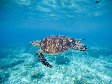 Tartaruga verde selvagem que nada debaixo d'água no mar tropical azul. Foto submarina com tartaruga. Tartaruga marinha na natureza selvagem. Snorkeling em lagoa tropical. Ilha exótica praia com plantas marinhas e animais Foto de archivo - 73383354