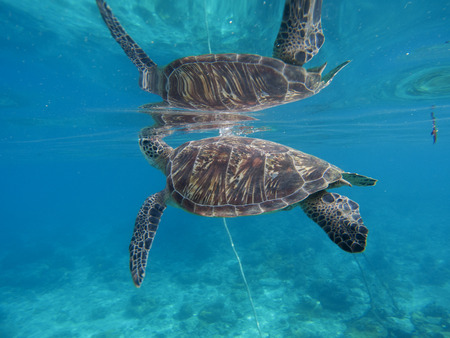 water ecosystem: Sea turtle underwater with its reflection in water surface. Green turtle closeup. Sea turtle swim in sea. Snorkeling with turtle in Philippines. Tropical sea life. Summer holiday travel sport activity
