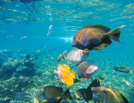 Underwater landscape with diverse coral fishes. Surgeonfish, parrotfish, wrasse fish, dascillus. Colorful undersea life on coral reef. Tropical fishes closeup image in wild nature. Exotic seaside life