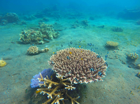 Underwater landscape with coral reef. Diverse coral shapes. Small neon blue coral fishes. Tropical fishes in wild nature. Damselfish colony. Sea bottom with young coral ecosystem. Tropic snorkeling