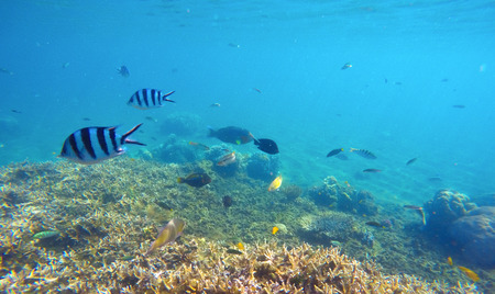 Underwater scene with colorful exotic fishes. Blue sea water above sharp corals. Snorkeling photo of sea bottom with corals and sea plants. Oceanic life ecosystem. Stripe dascillus or sergeant fishes Stock Photo