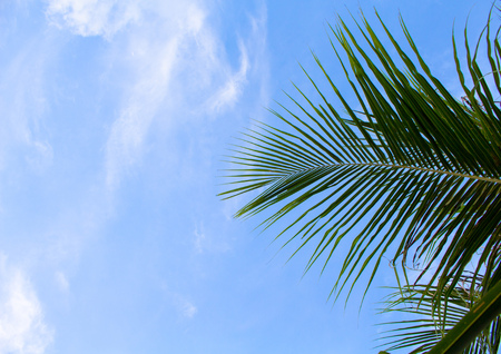 crone: Coconut palm leaf on sky background. Summer vacation banner template with place for text. Tropical nature minimal photo. Coco palm tree branch on blue sky. Palm tree leaf under sun. Paradise skyscape