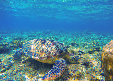 Sea turtle eating seaweeds on seabottom. Green turtle in wild nature. Sea tortoise in clean blue water. Oceanic animal photo in natural environment. Snorkeling with tortoise. Tropical island vacation Stock Photo