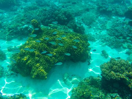 Undersea landscape with coral reef and blue coral fishes. Tropical sea lagoon with sea animals. Underwater view in exotic island seashore. Snorkeling image from warm tropical sea. Young coral polyps