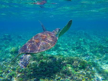 seaweeds: Sea turtle diving above seaweeds. Green turtle in sea water. Ecosystem of tropical seashore. Snorkeling with turtle image. Underwater landscape with sea animal. Green sea tortoise in blue water