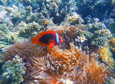 Red clown fish in actinia closeup photo. Clownfish in coral reef. Underwater photo with tropical coral fishes. Sea bottom scene with marine animals. Diving or snorkeling in exotic seashore. Stock Photo