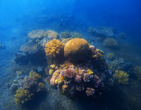 Underwater landscape with coral reef. Round coral with fishes and seaweed. Turquoise sea and tropical seabottom photo. Sea animals and plants. Exotic seashore. Marine inhabitant. Sea water environment