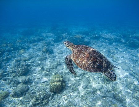 Sea turtle underwater photo. Snorkeling with tortoise. Wild green turtle in tropical lagoon. Sea ecosystem with animals and seaweeds. Oceanic environment. Marine wildlife protected. Endangered species