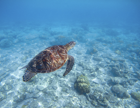 Sea turtle swims underwater. Snorkeling with tortoise. Wild green turtle in tropical lagoon. Sea ecosystem with animals and seaweeds. Oceanic environment. Marine wildlife protected. Endangered species Stock Photo