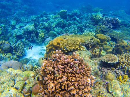 Underwater landscape with red coral reef. Diverse coral ecosystem. Blue sea water view. Tropical fish in wild nature. Seabottom perspective. Natural aquarium in tropical lagoon. Exotic sea snorkeling Stock Photo
