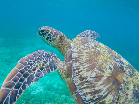 Green sea turtle closeup in shallow sea water. Sea turtle closeup. Snorkeling or diving with tortoise. Wild green turtle in tropical lagoon. Sea environment with animals and seaweeds. Marine tortoise Stock Photo