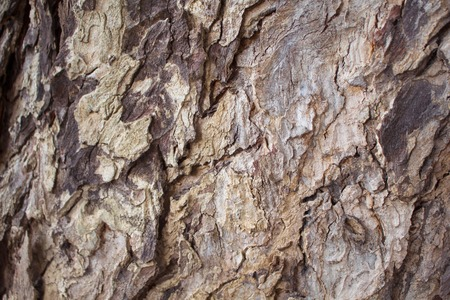 Aged oak tree bark closeup texture photo. Rustic tree trunk closeup. Oak bark pattern. Textured lumber background. Weathered timber surface. Rough bark. Natural layered lumber texture. Obsolete tree