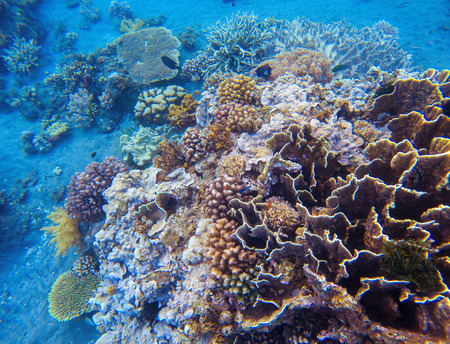 Coral closeup in tropical seashore. Undersea landscape photo. Fauna and flora of tropical shore. Coral reef underwater photo. Snorkeling in tropics. Exotic island seaside vacation. Natural aquarium