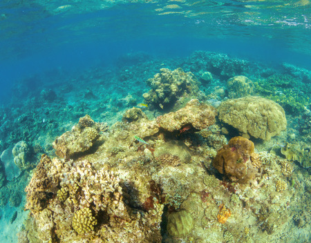 Underwater landscape with coral reef. Hard coral shapes. Small coral fishes. Tropical fishes in wild nature. Turquoise shallow sea water wildlife. Sea bottom with coral ecosystem. Tropic snorkeling