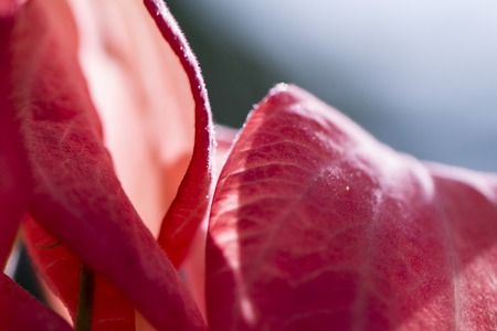 Tropical flower in sunny garden photo. Pink mussaenda on tree branch. Blooming tree in tropic garden. Exotic flower blossom. Gentle pink petals texture. Wedding flower. Romantic wedding background