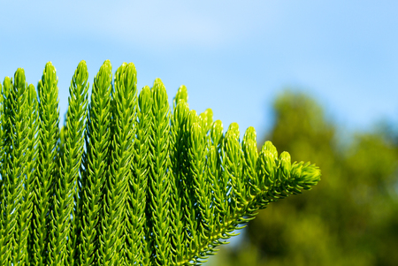 Green tropical plant background. Evergreen cypress branch. Green tree branch macrophoto. Sunny garden with exotic flora. Tropical island nature closeup. Summer in garden. Evergreen tree wallpaper