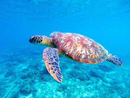 Groene zeeschildpadclose-up. Grote groene zeeschildpadclose-up. Mariene soorten in de wilde natuur. Tropische zeeschildpad. Schildpad foto. Grote schildpad in blauw water. Waterdier onder water. Schildpad in heiligdom