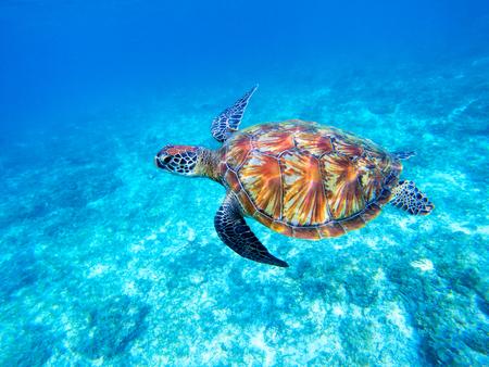Groene zeeschildpad in ondiep zeewater. Grote groene zeeschildpadclose-up. Mariene soorten in de wilde natuur. Schildpad in tropische zee. Schildpad foto. Grote schildpad zwemt. Waterdier onder water. Schildpad