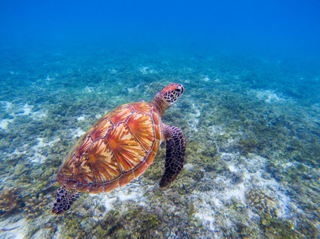 Sea turtle in blue water. Big green sea turtle closeup. Endangered species of tropical coral reef. Tortoise photo. Tropic seashore ecosystem. Summer travel seaside activity. Snorkeling with sea turtle Фото со стока