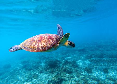 Sea turtle swims in sea water. Big green sea turtle closeup. Life of tropical coral reef. Marine tortoise undersea. Tropic seashore ecosystem. Big turtle in blue water. Aquatic animal underwater photo