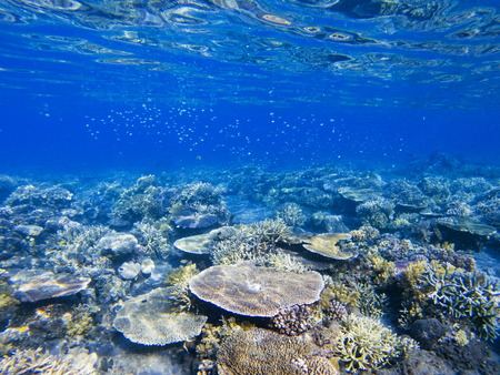 Table corals. Exotic island shore shallow water. Tropical seashore landscape underwater photo. Coral reef animal. Sea nature. Sea fish in coral. Undersea view of marine life. Coral reef landscape