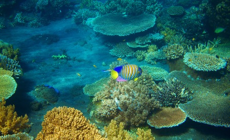 Striped angel fish in coral reef. Tropical seashore inhabitants underwater photo. Coral reef animal. Warm sea nature. Colorful sea fish and corals. Undersea view of marine life. Coral reef landscape