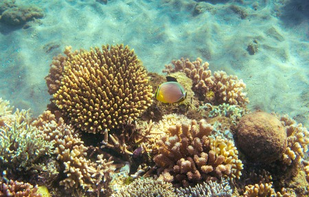Butterflyfish in coral reef. Tropical seashore inhabitants underwater photo. Coral reef animal. Warm sea nature. Colorful butterfly fish and corals. Undersea view of marine life. Coral reef landscape Stock Photo