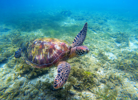 Green sea turtle above seaweeds. Tropical nature of exotic island. Olive ridley turtle in blue sea water. Sea tortoise swims underwater. Undersea photo. Protected marine animal in natural environment
