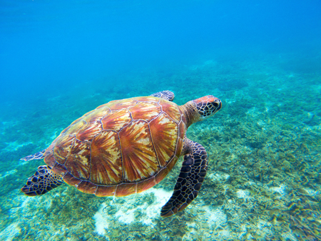 Green sea turtle with brown shell swims underwater. Tropical nature of exotic island. Olive ridley turtle in blue sea water. Sea tortoise in tropical lagoon. Undersea photo. Protected marine animal