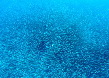 Sardines colony in blue sea. Massive fish school undersea photo. Huge fish school swimming in seawater. Mackerel shoal. Oceanic wildlife. Sea sardines. Fishing for seafood. Salt water fish underwater