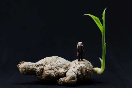 Tiny traveler on old ginger root with young green sprout. Age and youth metaphor. Longevity and vital power. Old man on ginger young sprout. Traditional chinese medicine plant. Active aging and health