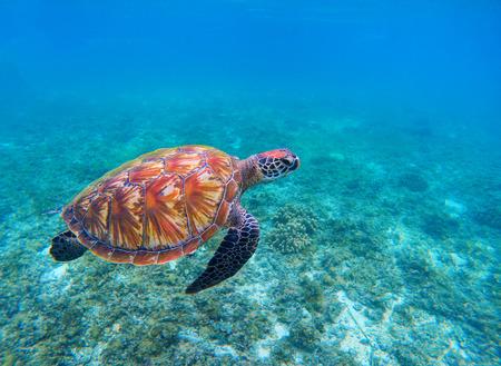 Tartaruga de mar da natação no close up azul do oceano. Close up da tartaruga de mar verde. Espécies ameaçadas de recife de coral tropical. Foto de tartaruga. Mar do Trópico. Atividade de beira-mar de viagens de verão. Mergulho em Tartaruga Marinha Foto de archivo - 91545768