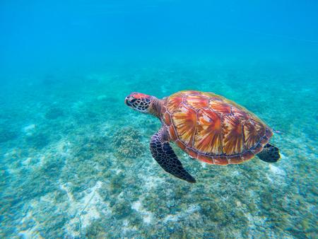 Wild sea turtle in blue ocean closeup. Green sea turtle closeup. Endangered species of tropical coral reef. Tortoise photo. Tropic seashore fauna. Summer travel seaside activity. Sea turtle snorkeling