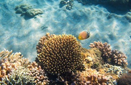 Underwater landscape with coral reef and butterfly fish. Butterflyfish undersea photo. Coral reef. Sea bottom with coral ecosystem. Tropical seashore snorkeling. Marine relief landscape. Tropic lagoon Stock Photo