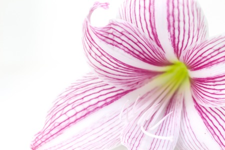 Gentle pink lily flower closeup photo. Floral feminine banner template. Lily macrophoto. Trendy wedding invitation. White lily petal on white background. Beauty or spa decor. Romantic greeting card