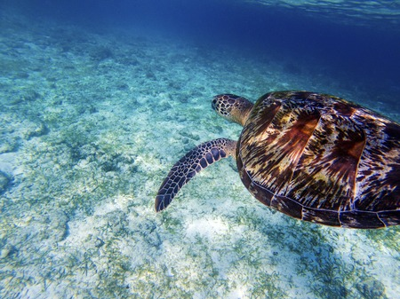 Sea turtle above white sand sea bottom. Coral reef animal underwater photo. Marine tortoise undersea. Green turtle in nature. Green turtle underwater. Tropical seashore. Oceanic animal portrait