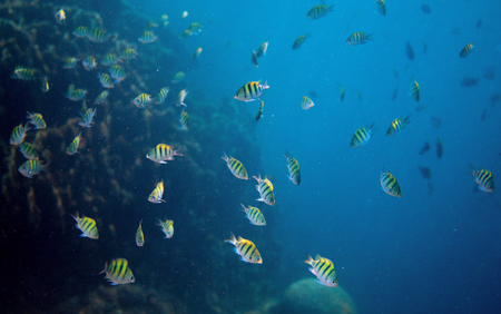 Tropical fish Dascillus in open ocean. Underwater photo. Marine animal. Aquarium fish in wild nature. Undersea view of oceanic life. Coral fish colony. Open water diving. Blue sea and yellow fish Stock Photo