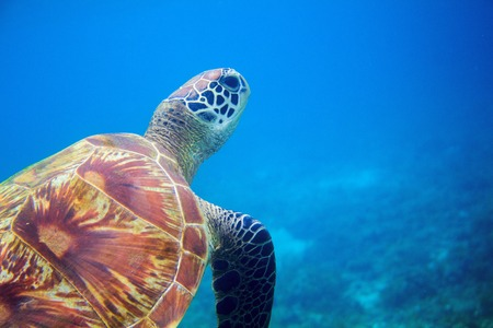 Sea turtle closeup in blue water. Coral reef animal underwater photo. Marine tortoise undersea. Green turtle in natural environment. Green turtle underwater. Tropical seashore. Oceanic animal portrait
