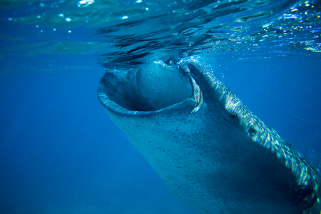 Whale shark in deep blue sea. Whale shark closeup eating plankton by sea water surface. Huge oceanic animal. Biggest shark in natural environment. Snorkeling or diving with whale shark in Philippines Stock Photo