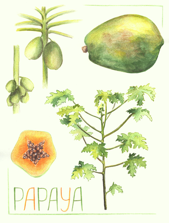 Papaya fruit and tree botanical illustration. Handdrawn papaya plant vegetation. Papaya fruit grow on tree trunk. Exotic plant drawing. Tropical garden tree. Tropic greenery. Melon tree vintage poster