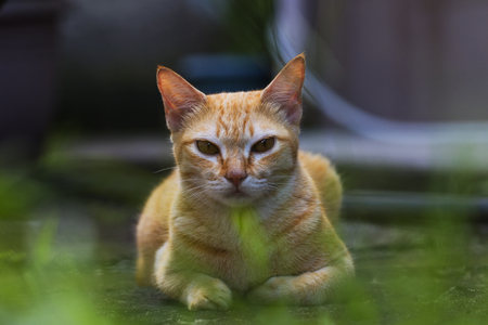 Red cat on green grass in country house yard. Ginger cat resting. Funny orange cat with arrogant face expression. Domestic animal outdoor. Countryside summer holiday for pet. Sunny cat closeup