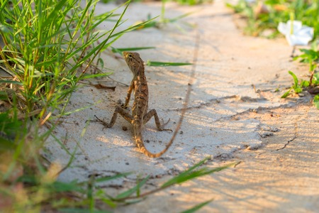 Brown lizard on white sand in green grass. Stock Photo